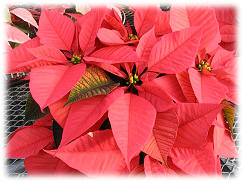 Mitchells's Nursery and Greenhouse grows over 9,000 Poinsettias in 70 different varieties.