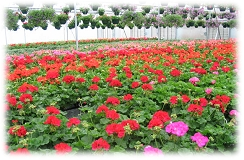 fresh geraniums growing in Mitchell's greenhouse