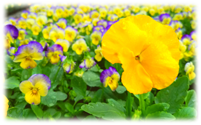 "Pansies are grown in flats of 36, 18, and 6"" pots"